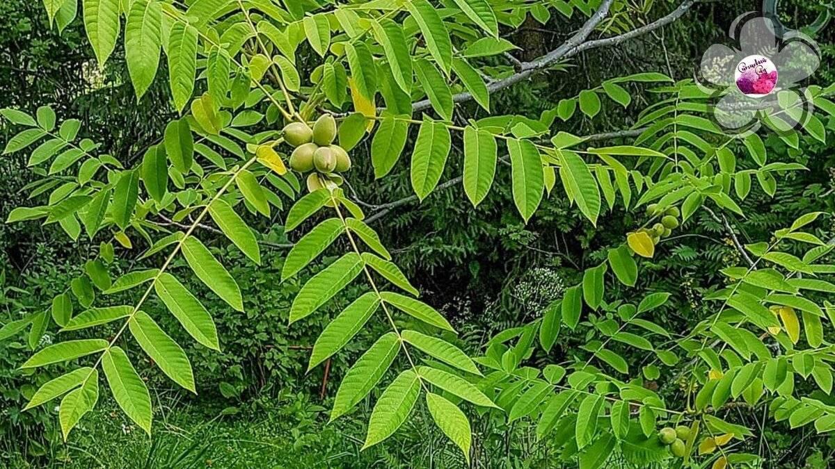 Маньчжурский орех: польза, вред, лечебные свойства, рецепты, посадка и уход