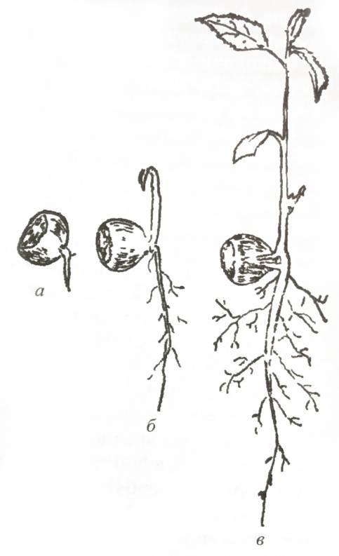 Семенное размножение Corylus L