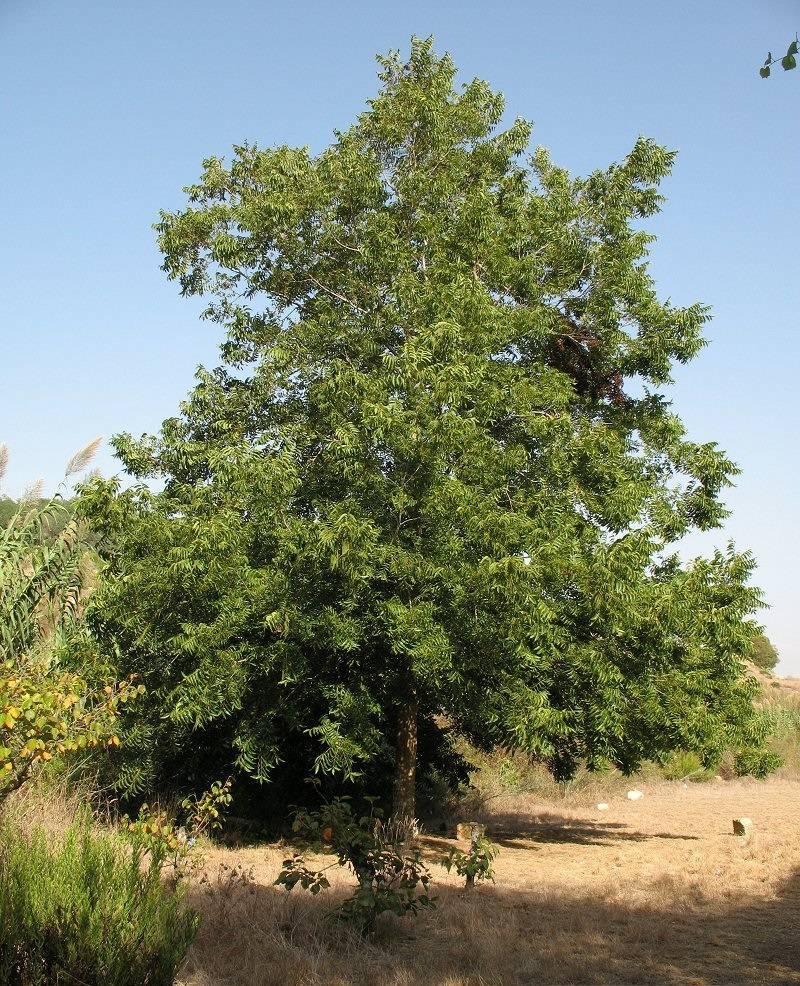 Королевский орех пекан: выращиваем на участке экзотический орех - фермерский сайт королевский орех пекан: выращиваем на участке экзотический орех - фермерский сайт