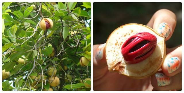 Мускатный орех и его лечебные свойства— раскрываем все секреты