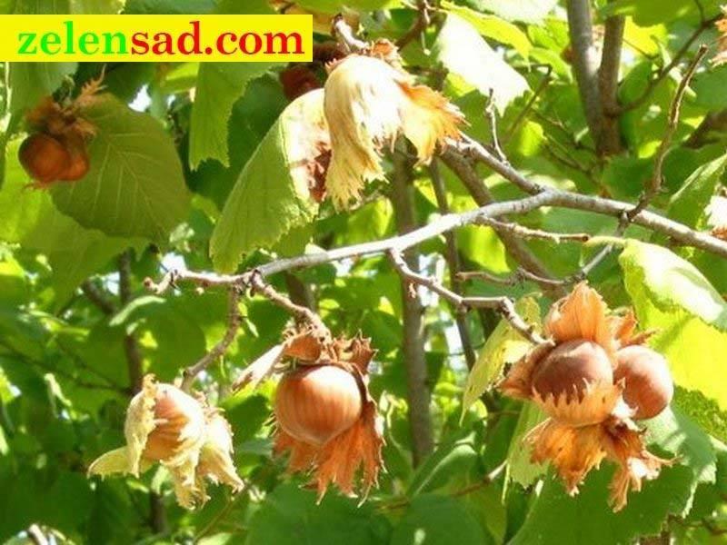 Почему орешник не плодоносит?