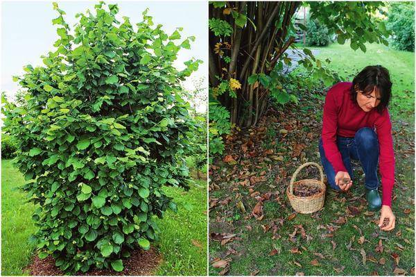 Что можно посадить под грецким орехом: зелень, ягодные кусты, цветы, правила ухода