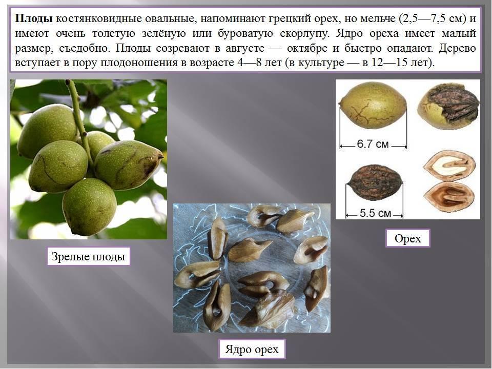 Через сколько лет плодоносит грецкий орех: обрезка, созревание, сбор