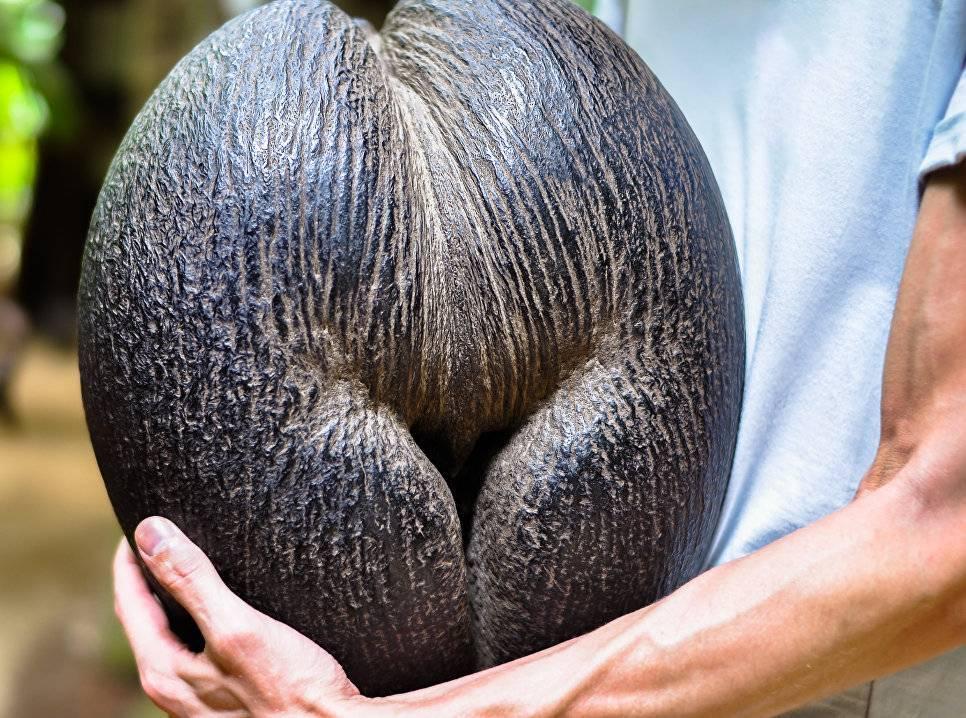 Сейшельский орех (морской кокос, коко де мер, мальдивский орех). необычные плоды и орехи. деревья и их корни. фукнкции и строение корня