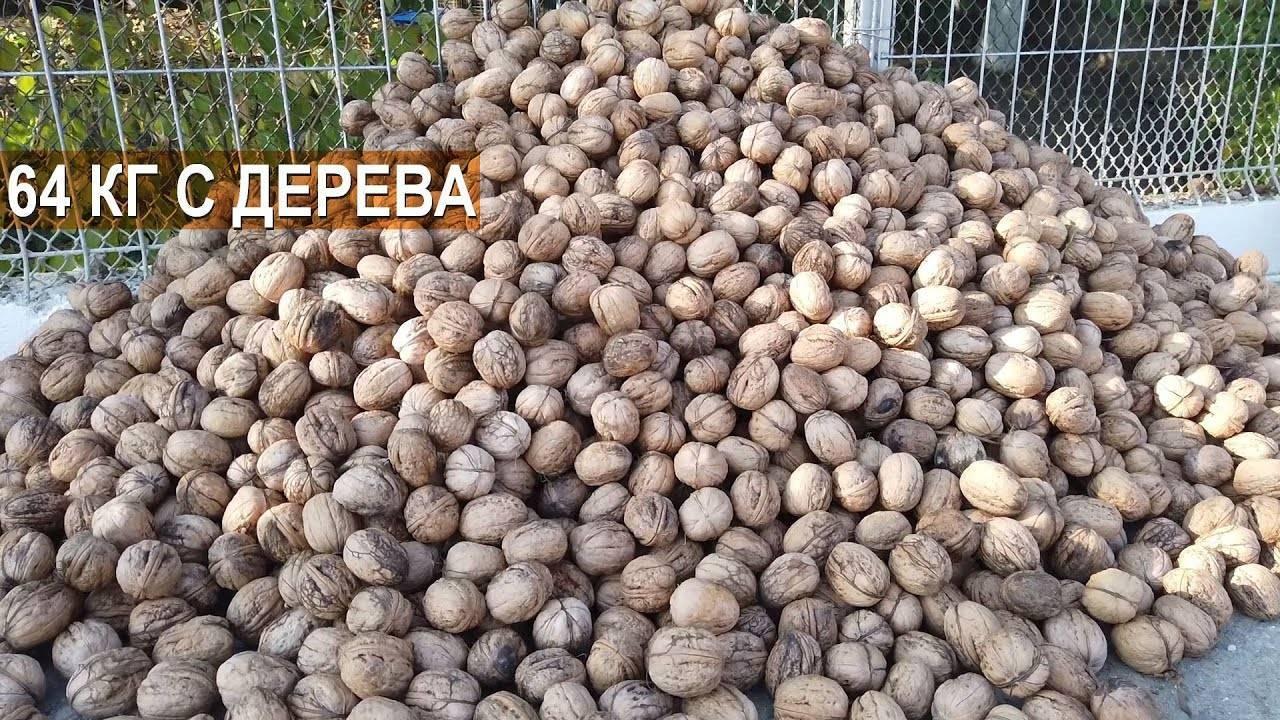 Саженцы грецкого ореха - как правильно посадить, выбор и уход