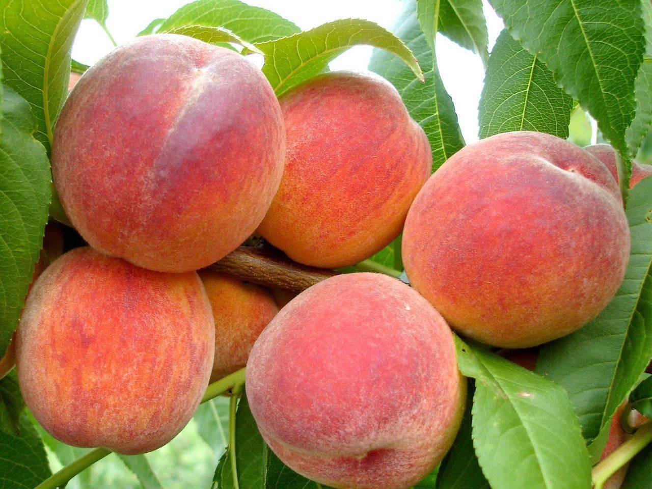 Персик «харнас»: описание сорта и особенности культивирования