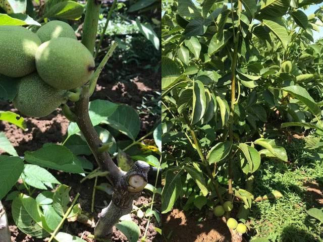 Описания скороплодных сортов грецких орехов и советы по их выращиванию