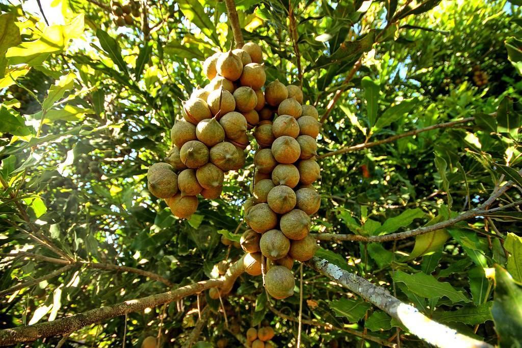 Где растет макадамия и как выглядит орех