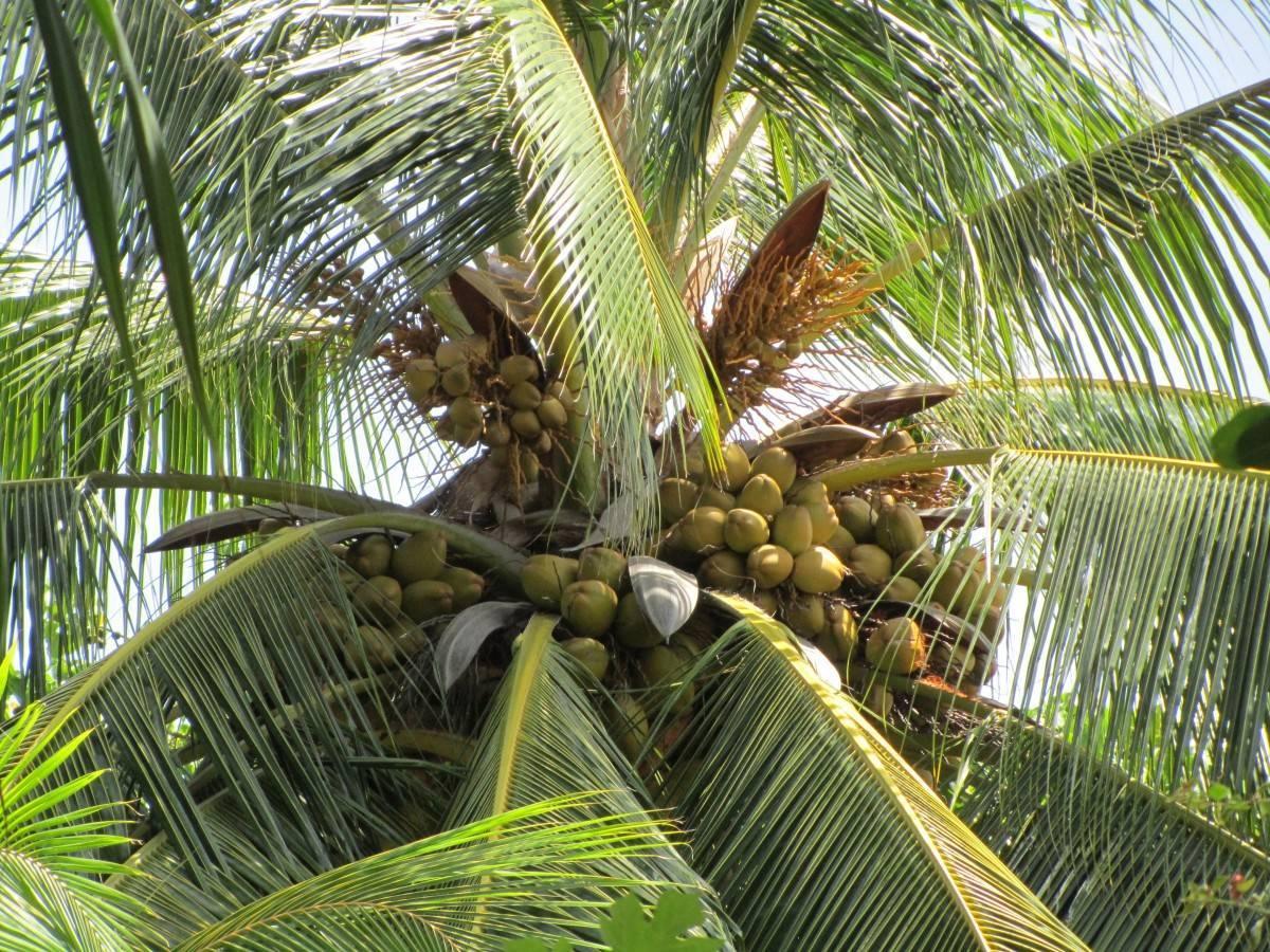 Кокосовая пальма фото, уход в домашних условиях, размножение