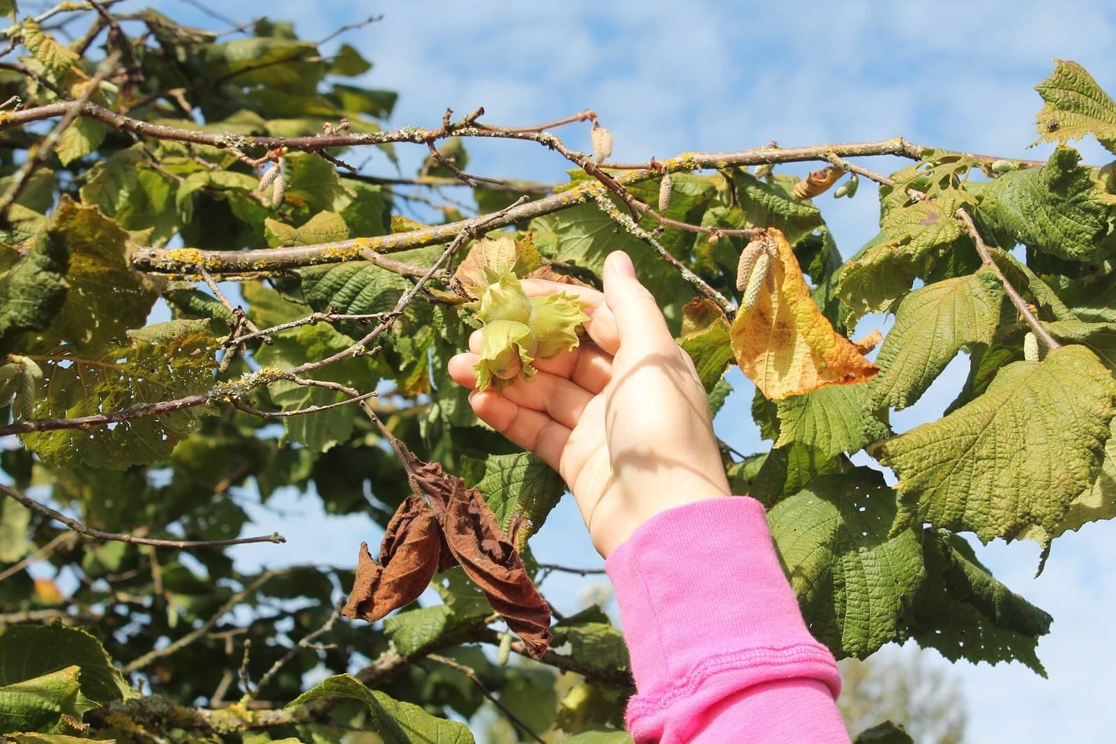 Грецкий орех в подмосковье: выращивание, лучшие сорта