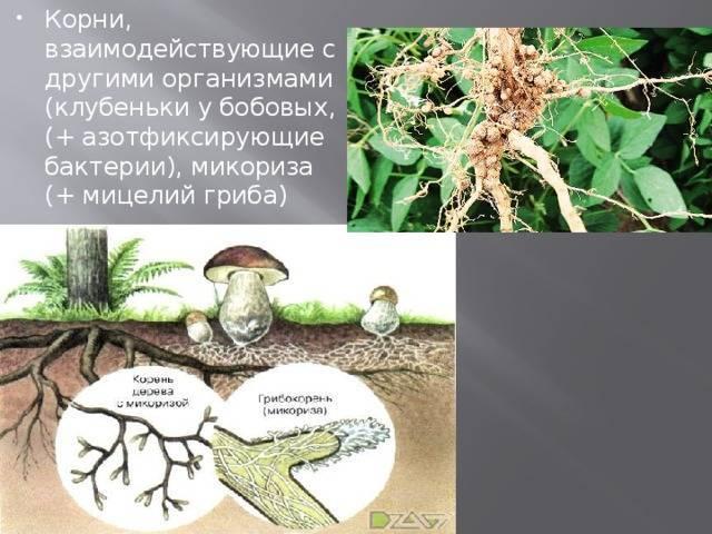 Что такое микориза и зачем она нужна, как влияет на растения