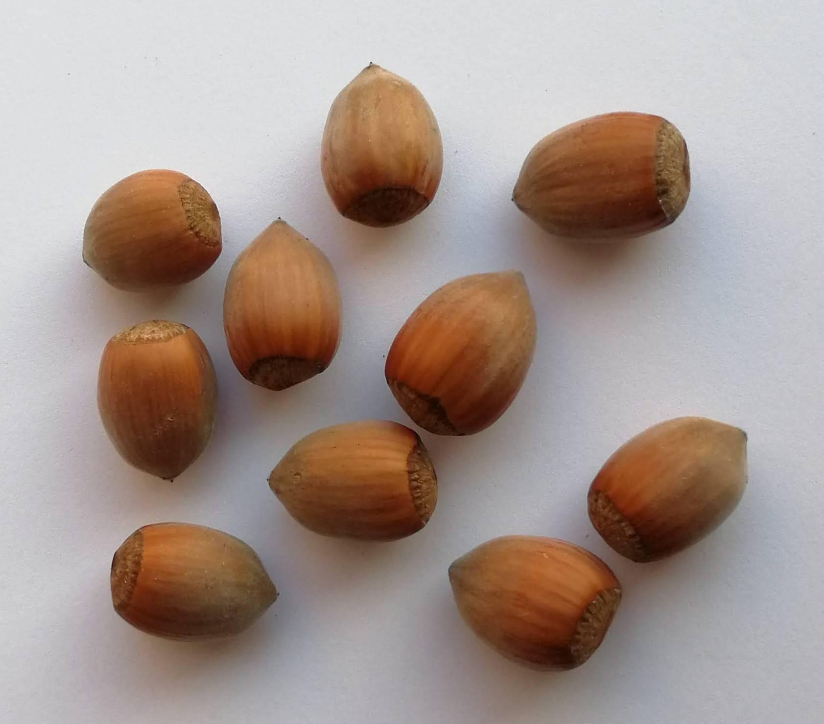 Сорта фундука (лещина). какие сорта фундука подходят для выращивания на участке? | огородники