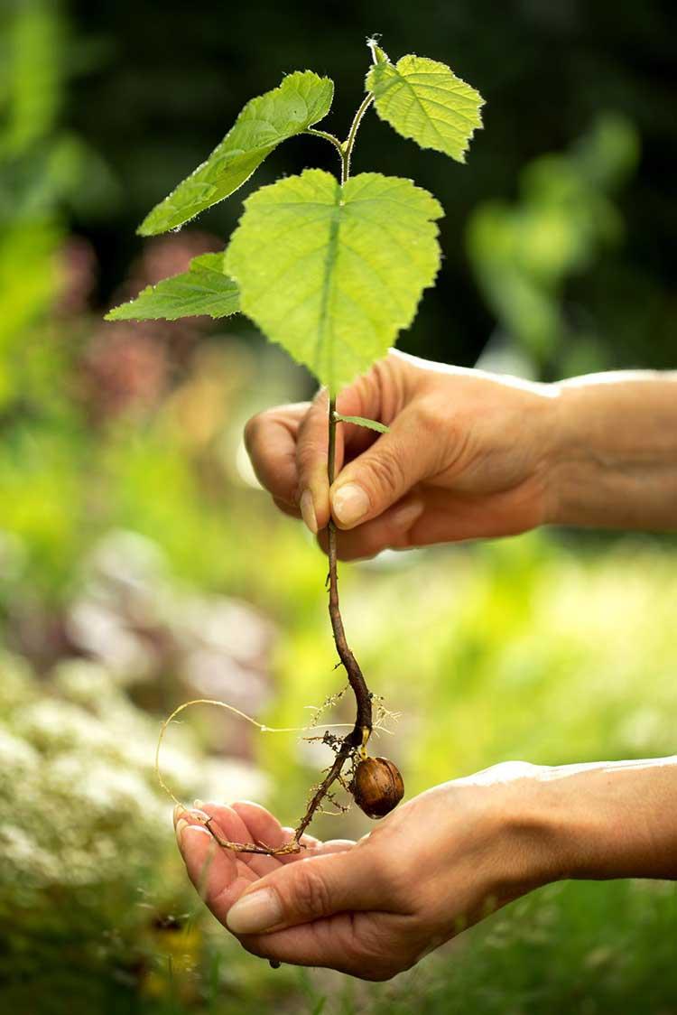 Анациклус (cлюногон): выращивание из семян, посадка и уход, фото