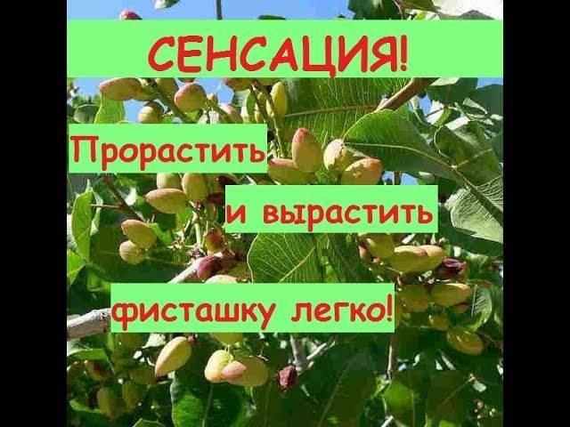Как и где растут фисташки, выращивание и уход за деревом в домашних условиях
