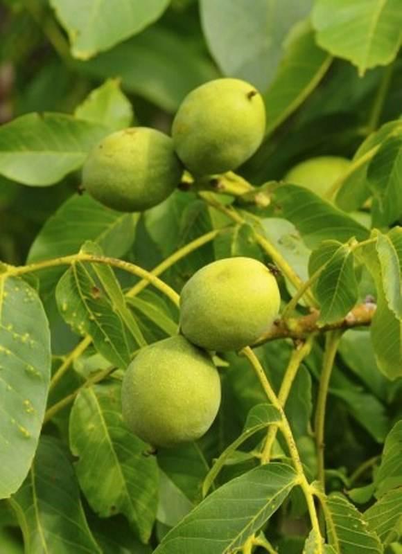Сорт ореха иван багряный