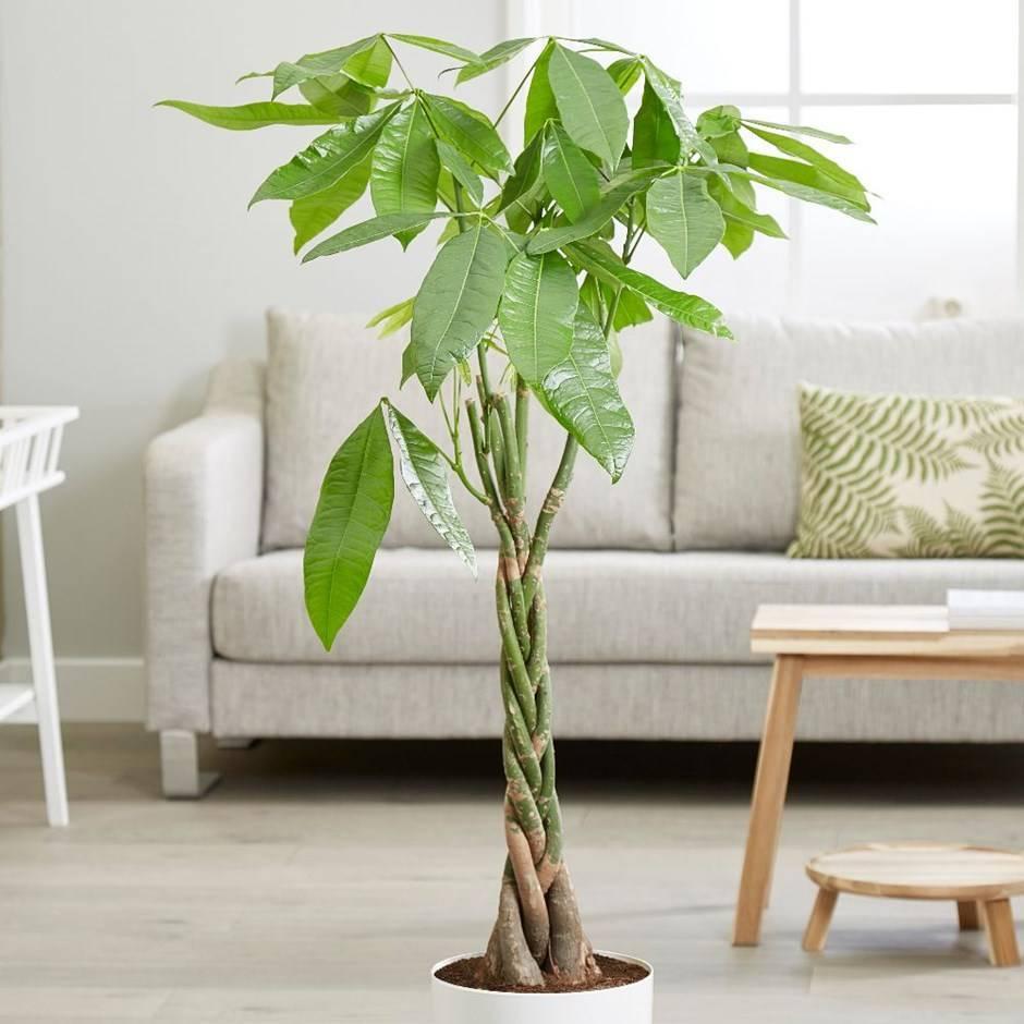 Пахира: фото, уход в домашних условиях за водной акватикой, пожелтение листьев, размножение