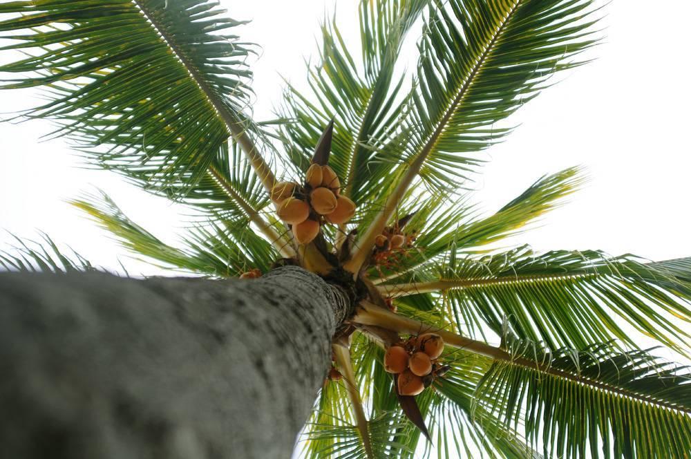 Выращивание кокосовой пальмы в домашних условиях: описание, советы по уходу и размножению