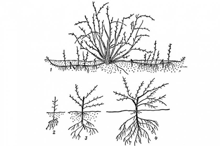 Фундук: особенности посадки и ухода, размножение, болезни и вредители, подкормка, видео