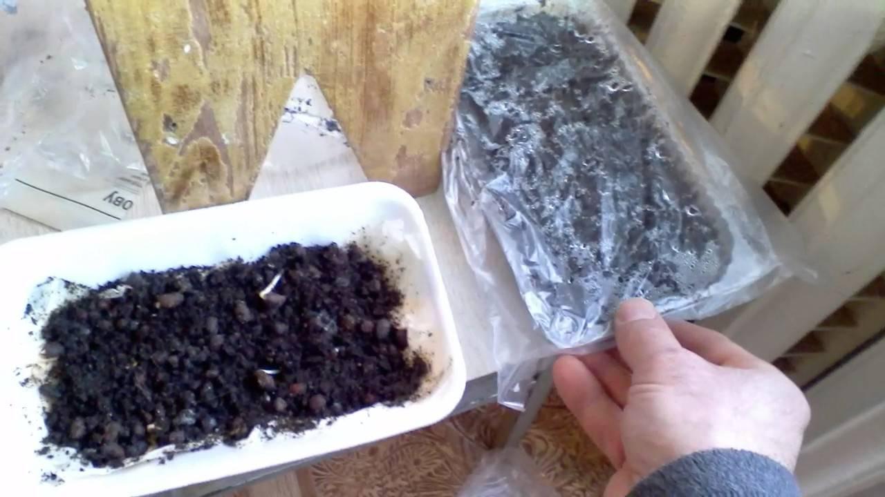 Как вырастить кедр из орешка в домашних условиях: пошаговая инструкция