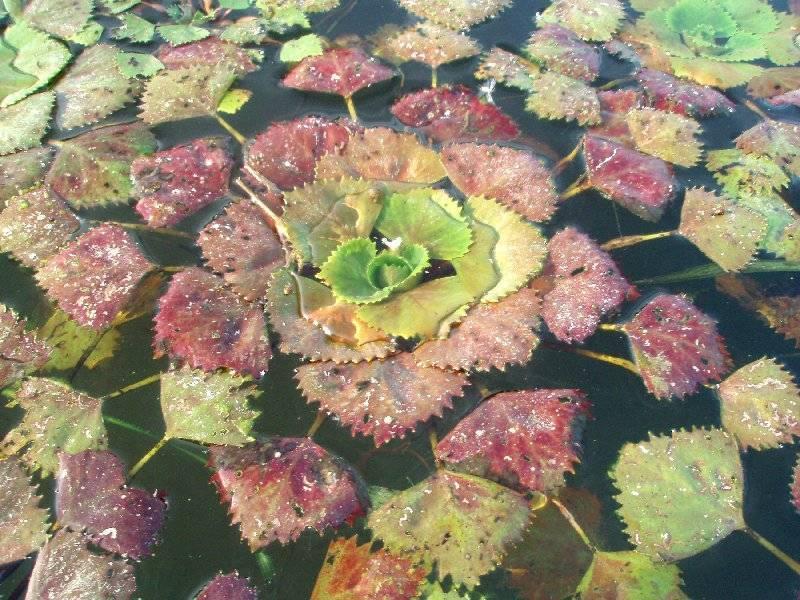 Водяной орех (чилим): описание, содержание в аквариуме, уход водяной орех (чилим): описание, содержание в аквариуме, уход