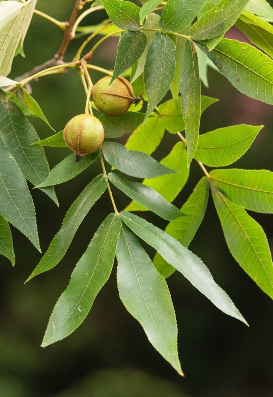 Кирказон: посадка и уход, выращивание из семян, виды