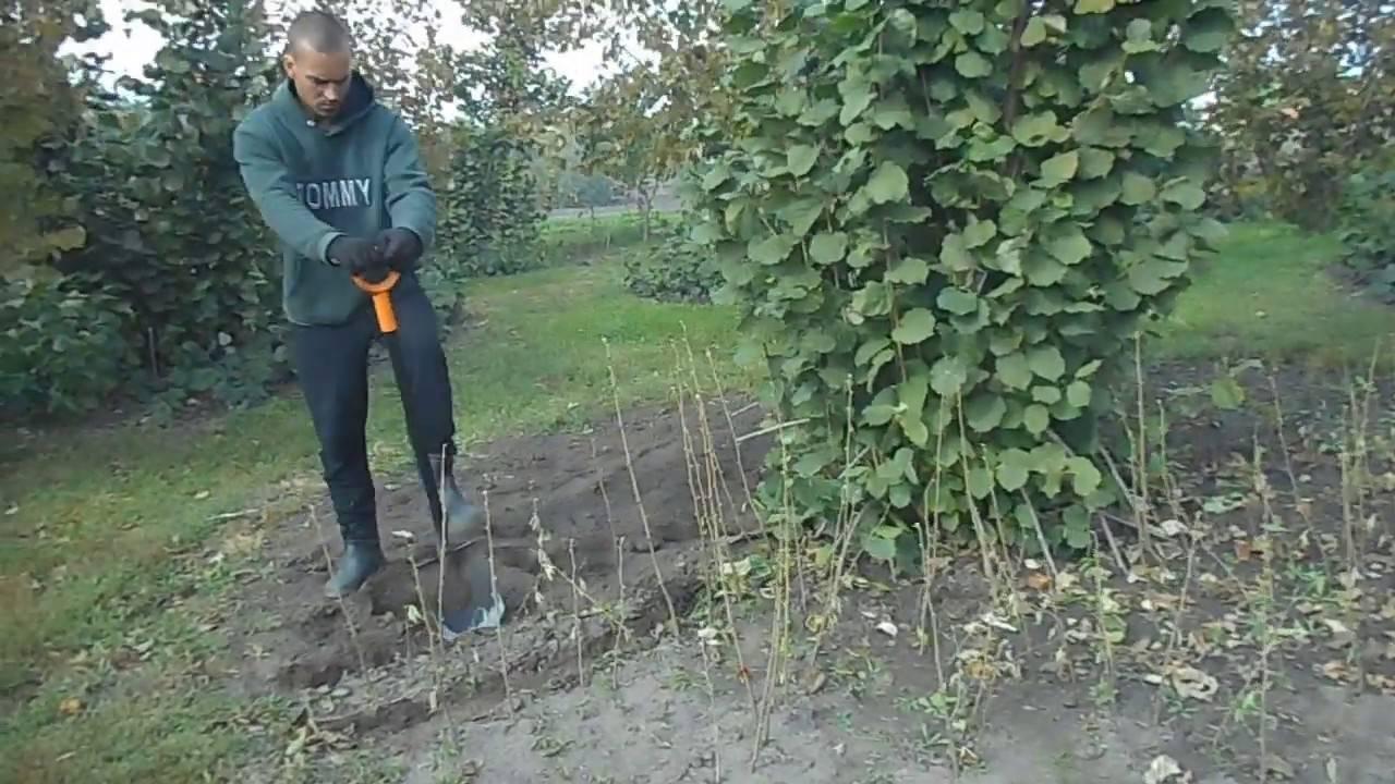 Фундук (фото) посадка и уход: важные советы | сайт о саде, даче и комнатных растениях.