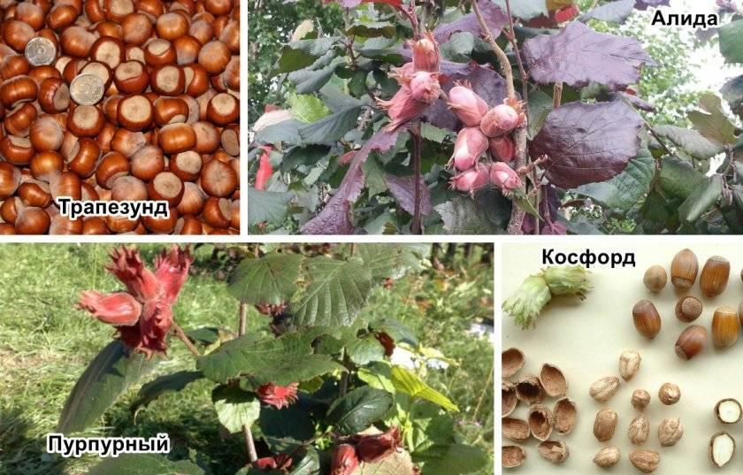 Выращивание фундука в саду
