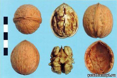 Молдавские сорта грецкого ореха