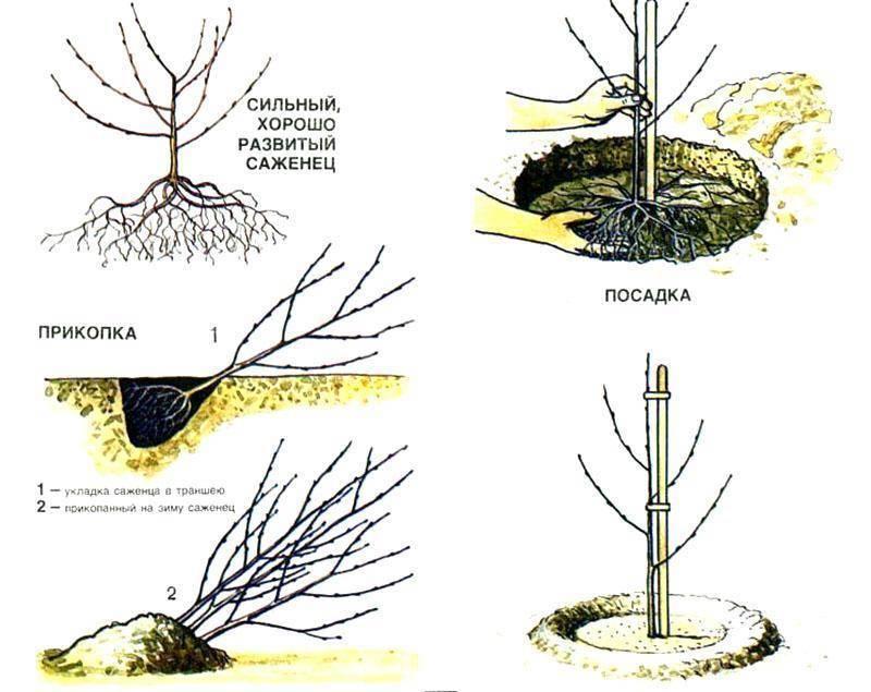 Как посадить грецкий орех осенью и весной: правила посадки саженца и ухода за деревом