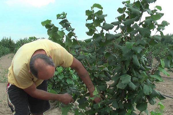 Сорта фундука: трапезунд, кавказ и другие - крестьянское подворье