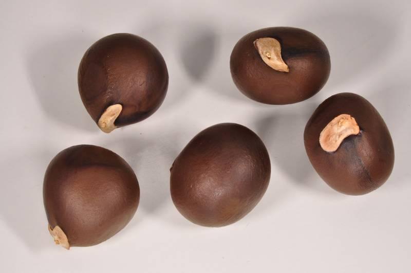 Чекалкин орех ксантоцерас: польза, вред, свойства, применение, уход