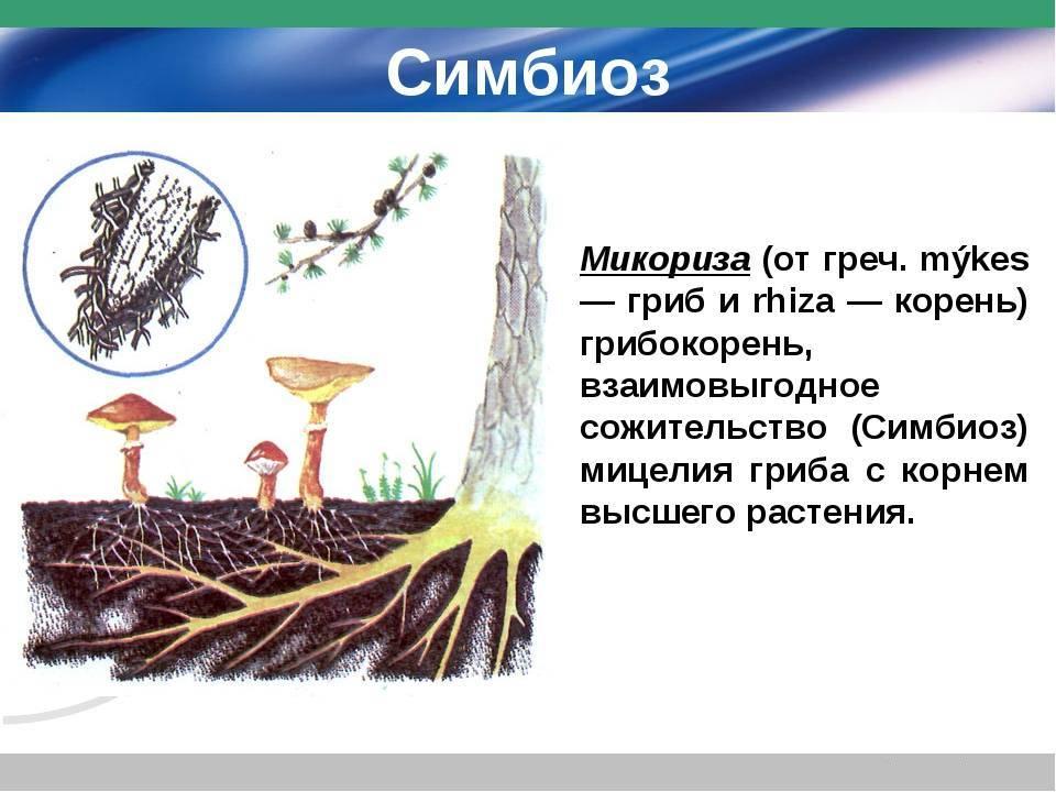 Что такое микориза: среда обитания, полезные свойства, плюсы и минусы, правила применения + разновидности грибокорня