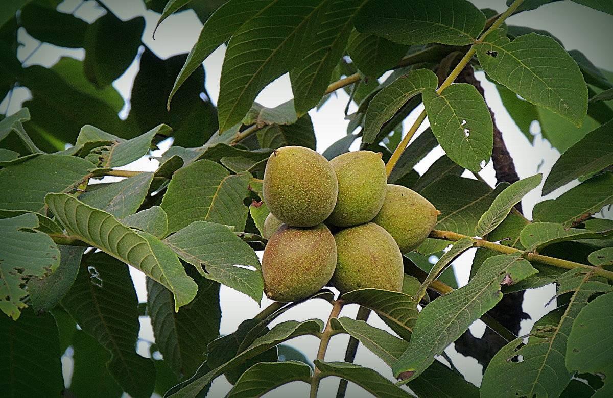 Маньчжурский орех: лечебные свойства, применение и противопоказания | здоровье и красота