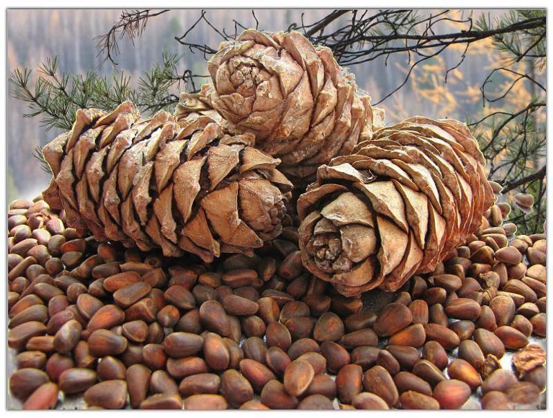 Ведро орехов кедровые