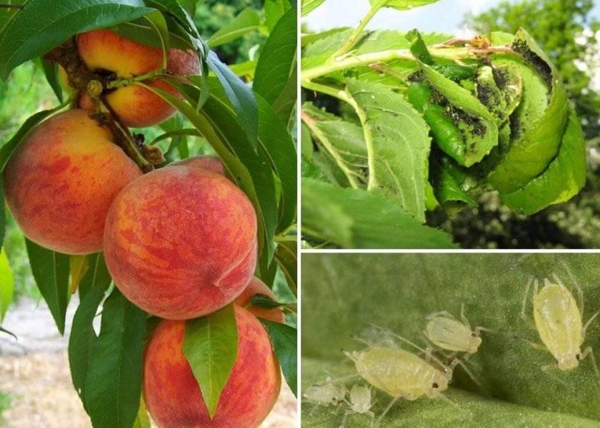 Сладкий и морозостойкий сорт миндаля – делон. описание и особенности, преимущества и недостатки, нюансы выращивания
