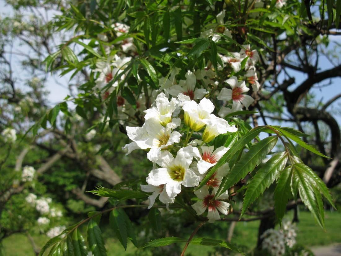 Чекалкин орех выращивание из семян