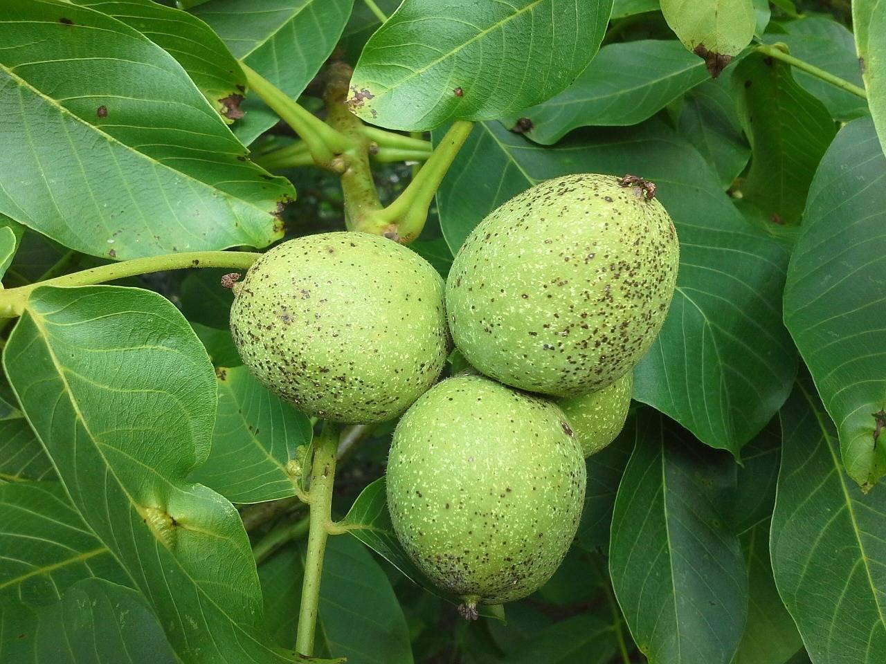 Дерево грецкий орех – как посадить и ухаживать, возможные заболевания и проблемы - огород, сад, балкон - медиаплатформа миртесен