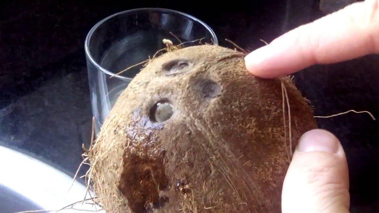 Кокосовая пальма (cocos nucifera). выращивание и уход в домашних условиях.