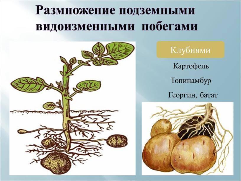 Вегетативное размножение: сущность, природные и искусственные способы, черенкование