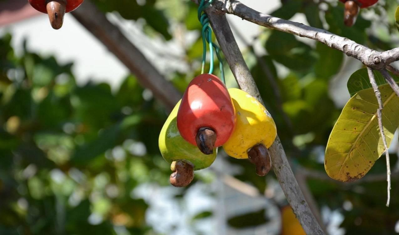 Где и как растет кешью? как выглядит дерево и плод кешью? :: syl.ru