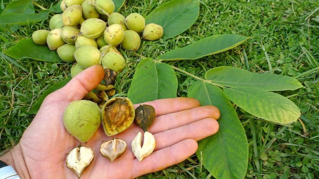 Где и как растет фундук? Особенности развития и историческая родина ореха