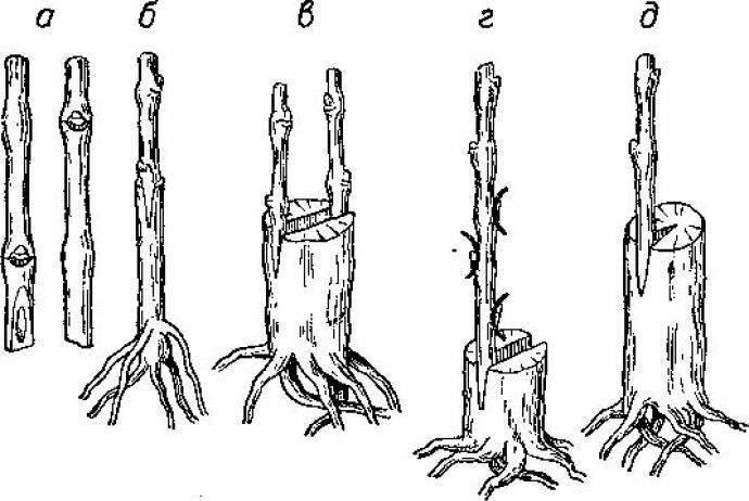 Миндаль: посадка и уход в открытом грунте, выращивание в саду