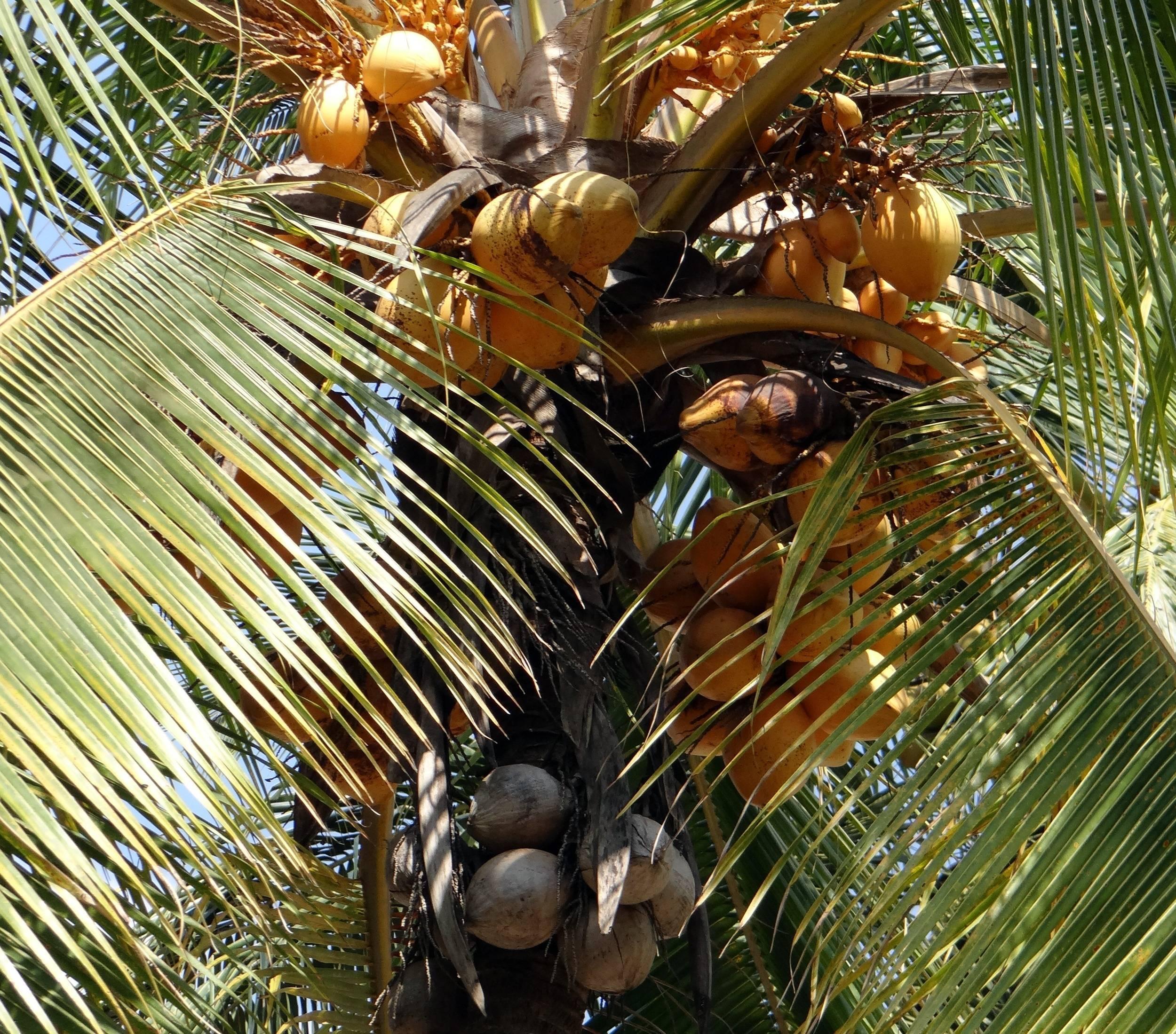 Кокосовая пальма или где растут кокосы: фото, описание