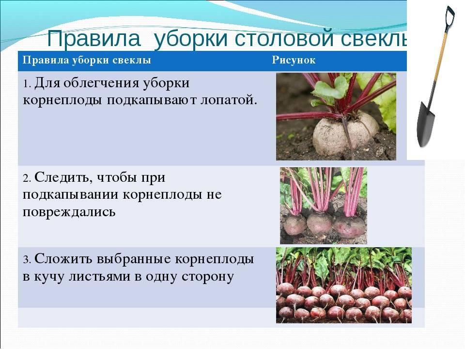 Сбор урожая капусты: сроки, когда собирать, хранение