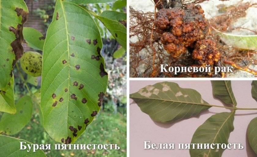 ✅ плоды грецкого ореха чернеют на деревьях как спасти - усадьбанатали.рф