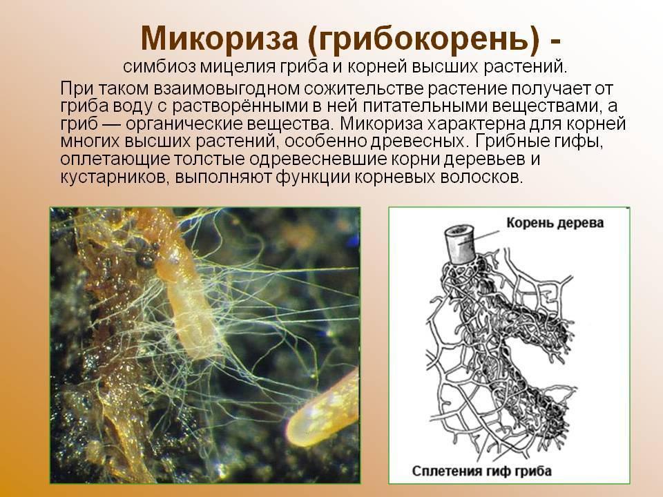 Микориза - mycorrhiza