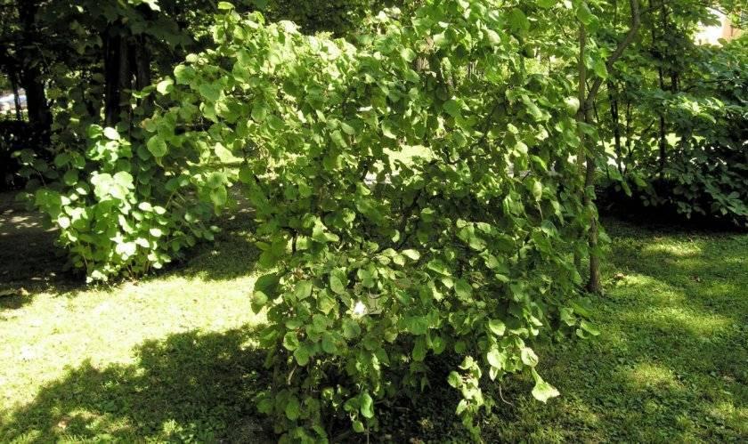Что посадить под яблоней на даче: цветы, овощи, кустарники, травы и другие растения
