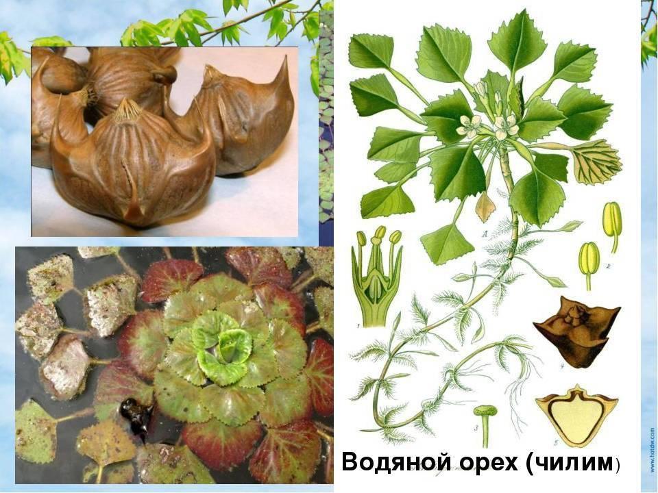 Водяной орех, чилим или водный рогульник применяется как в медицине, так и в приготовлении пищи