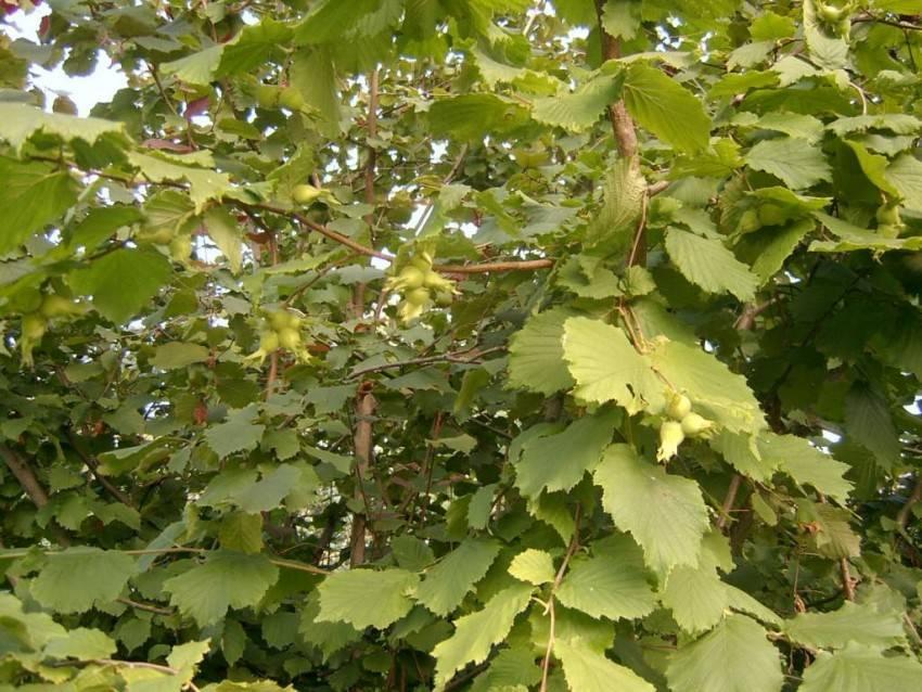 Как растет фундук орех фото дерева - инженер пто
