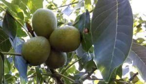 Чем удобрять грецкий орех осенью